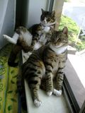 Tabby Cat Brothers relaxing Royalty Free Stock Images
