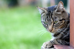 Tabby Cat. Brown tabby cat with big green eyes lying in the garden. Selective focus, green background, with copy space royalty free stock image