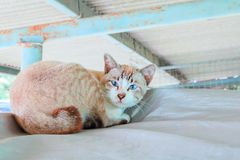 Tabby cat brown eye blue beautiful Royalty Free Stock Images