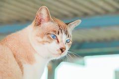 Tabby cat brown eye blue beautiful Stock Photo