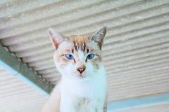Tabby cat brown eye blue beautiful Royalty Free Stock Photo