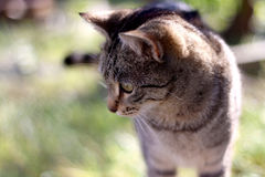 Tabby Cat. Brown tabby cat in the garden. Head close-up, selective focus royalty free stock photo