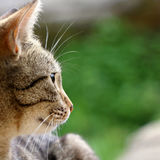 Tabby Cat. Brown tabby cat in the garden. Head close-up, selective focus stock images