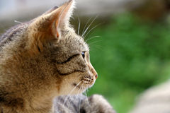 Tabby Cat. Brown tabby cat in the garden. Head close-up, selective focus royalty free stock images