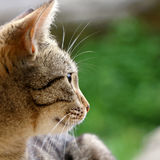Tabby Cat. Brown tabby cat in the garden. Head close-up, selective focus royalty free stock photography