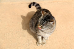 Tabby Cat. Brown tabby cat sitting on the floor outdoor with its tongue out. Selective focus stock photography
