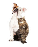 Tabby Cat and Bulldog Together Looking Up Stock Photos