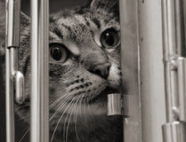 Tabby cat in a cage. Tabby cat trying to push his way out of his cage. Black and white image stock photo