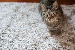 Tabby cat on a carpet. At home royalty free stock images
