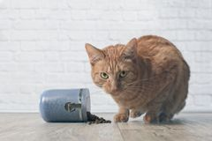 Ginger cat caught while stealing food from a open food dish. Tabby cat caught while stealing food from a open food container Royalty Free Stock Photo