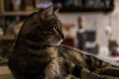 Tabby cat cautious looks, side view. Tabby cat, side view, cautious looks, in kitchen. Background bokeh Stock Image