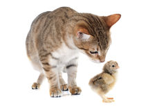Tabby cat and chick. In front of white background Stock Photo