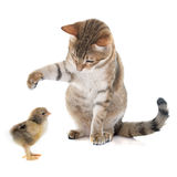 Tabby cat and chick. In front of white background Stock Photography
