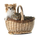 Tabby cat and chihuahua in basket Royalty Free Stock Images