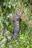 Tabby cat claws onto a tree in the garden Royalty Free Stock Photos