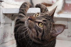 Tabby cat climbs shelf Royalty Free Stock Photography