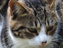 Tabby Cat Close-Up stockfoto