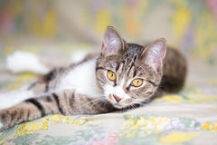 Tabby cat. Close up of lying tabby cat with green eyes stock photography