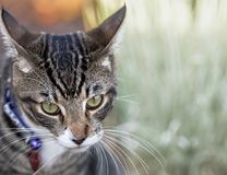 Tabby Cat Close Up mit Kopien-Raum Lizenzfreie Stockbilder