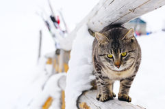 Tabby cat close-up on natural winter background. Tabby cat walking along a wooden railing against   Beautiful winter view. In the background is not clear Stock Photos