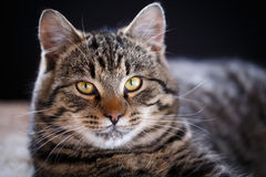 Tabby cat close up Royalty Free Stock Image