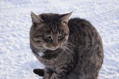 Tabby cat close-up. Sits in the snow. 