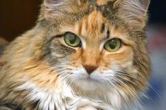 Tabby Cat Closeup Royalty Free Stock Photos
