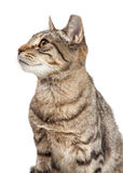 Tabby Cat Closeup Side Profile Royalty Free Stock Photos