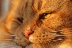 Tabby cat closeup stock images