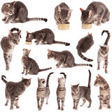 Tabby Cat Collection Royalty Free Stock Photography