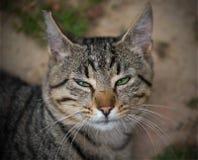 Tabby Cat com olhos verdes Fotos de Stock Royalty Free