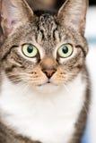 Tabby Cat com os grandes olhos verdes Imagem de Stock