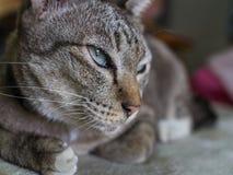 Tabby Cat Crouching con letargo imagenes de archivo