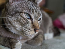 Tabby Cat Crouching with Lethargy. The Tabby Cat Crouching with Lethargy Stock Images