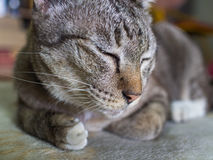 Tabby Cat Crouching met Lethargie royalty-vrije stock foto