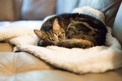 Tabby cat curled up on white fluffy blanket Stock Photos