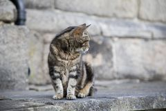 Tabby Cat. A cute tabby sitting on a wall stock image