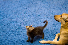 Tabby cat and dog Stock Photo