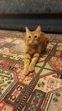 Tabby cat. Domestic tabby cat Stock Photos