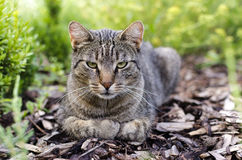 Tabby cat. Domestic tabby cat resting in a garden royalty free stock photos