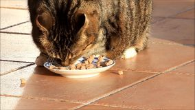 Tabby Cat eating canned food outside stock footage
