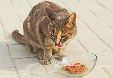 Tabby Cat Eating Raw Food from Clear Glass Bowl. Hungry tabby cat licks its face as it eats fresh raw meat in a clear glass bowl. Tongue is visible. Detailed stock photos