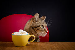 A tabby cat eats chantilly cream in a cup on a wooden table Royalty Free Stock Images