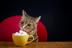 A tabby cat eats chantilly cream in a yellow cup on a wooden table Stock Images