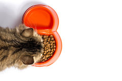 Tabby cat eats food from a bowl on a white background Royalty Free Stock Photography