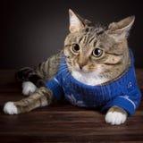 Tabby Cat en una chaqueta azul fotos de archivo