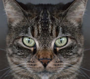 Tabby cat face Royalty Free Stock Photography