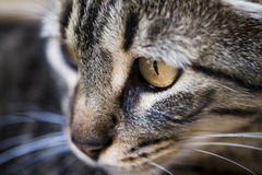 Free Tabby Cat Face Royalty Free Stock Photography - 41819797