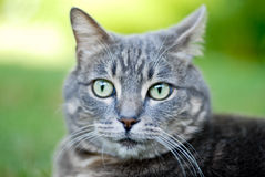 Tabby cat face. Gray tabby cat face with green eyes and whiskers Royalty Free Stock Images