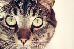 Tabby cat face Stock Photography